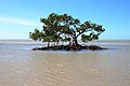 2012 Mangrove Australia East Coast.jpg
