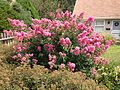 2013-08-26 12 41 42 Crape Myrtle on Terrace Boulevard near Walton Avenue in Ewing, New Jersey.jpg
