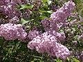 2014-05-18 11 29 17 Lilac in Elko, Nevada.JPG