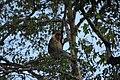 2014 Borneo Luyten-De-Hauwere-Proboscis monkey-03.jpg