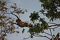 2014 Borneo Luyten-De-Hauwere-Proboscis monkey-07.jpg