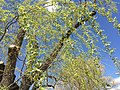 2015-05-01 14 13 46 Weeping Willow foliage during spring along Lamoille Highway (Nevada State Route 227) in Elko, Nevada.jpg