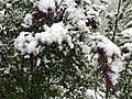 2015-05-07 07 15 52 New green leaves and flowers covered by a late spring wet snowfall on a Lilac on South 9th Street in Elko, Nevada.jpg