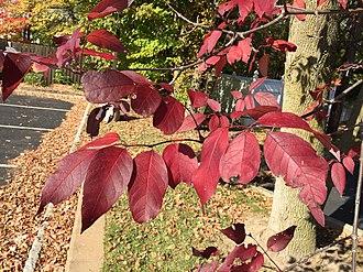 Fraxinus americana - Autumn foliage