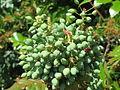 20150602Mahonia aquifolium1.jpg