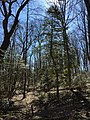 2016-03-01 13 12 49 American Holly along a trail within Fred Crabtree Park in Reston, Fairfax County, Virginia.jpg
