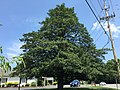 2016-07-20 13 32 30 Large American Holly along Maryland State Route 264 (Broomes Island Road) just north of Maryland State Route 265 (Mackall Road) in Mutual, Calvert County, Maryland.jpg