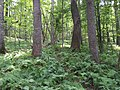 2017-08-10 14 39 33 Forest along the Gerry Connolly Cross County Trail between Miller Heights Road and Vale Road in Oakton, Fairfax County, Virginia.jpg