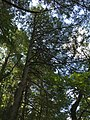 2017-08-19 11 36 00 View up into the canopy of a grove of Eastern Hemlocks along the Bull Run-Occoquan Trail between the Yellow Trail and the Red Trail within Hemlock Overlook Regional Park, in southwestern Fairfax County, Virginia.jpg