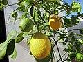 2017-10-26 Ripening lemons on a tree, Albufeira (2).JPG