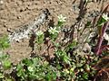 20170412Arenaria serpyllifolia4.jpg