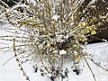2018-03-21 13 13 48 A Forsythia covered in snow while flowering along Tranquility Court in the Franklin Farm section of Oak Hill, Fairfax County, Virginia.jpg