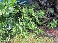 20180206Arenaria serpyllifolia1.jpg