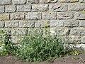 20180525Diplotaxis tenuifolia1.jpg