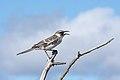 20180807-Galápagos mockingbird-3 at Genovesa (9573).jpg