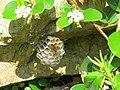 2019-06-07 (111) Polistes (paper wasp) with nest at Bichlhäusl, Tiefgrabenrotte, Frankenfels, Austria.jpg