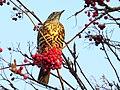 2020-01-01 Mistle Thrush with Rowan berries, Jesmond Dene 1.jpg