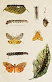 28-Indian-Insect-Life - Harold Maxwell-Lefroy - Hypsids-and-Lymantriids.jpg