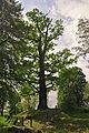 46-215-5013 Ruda Oak Tree RB.jpg