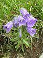 5119-Campanula alpina-Belian.Tatry-7.05.jpg