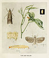 61-Indian-Insect-Life - Harold Maxwell-Lefroy - Eucelis-crifica.jpg