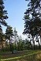 65-103-5003 старі сосни на околиці Пристані.jpg