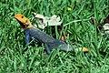AFRICAN RAINBOW LIZARD or RED-HEADED AGAMA (Agama agama africana)LIZARD, AFRICAN RAINBOW (Agame agame) (5-11-14) fairchild, tropical gardens, miami-dade co, fl (1) (14019441477).jpg