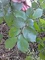 AZ0059 Ulmus x hollandica. Regent Park Road (14).jpg