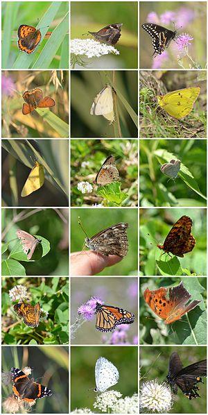 7400 Koleksi Gambar Hewan Kupu Kupu Dan Ciri Cirinya Gratis Terbaru
