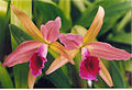 A and B Larsen orchids - Cattleya Enid 518-6.jpg