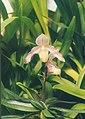 A and B Larsen orchids - Paphiopedilum niveum x roebbelenii 451-5.jpg