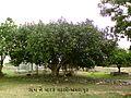 A banian tree amrapur.jpg