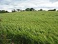 A field of barley - geograph.org.uk - 492248.jpg