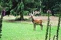 A huge male red deer (Edelhert) at NP Hoge Veluwe with 18 tip antlers. Very impressive - panoramio.jpg