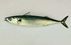A mackerel.jpg