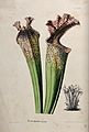 A pitcher plant (Sarracenia drummondii); two pitchers and a Wellcome V0044461.jpg