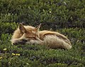 A red fox takes a nap near Eielson Visitor Center in Denali National Park and Preserve on June 29, 2019. (a1baffe8-c98c-4018-b76c-468cfb7ba0ea).JPG