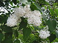 Ab plant 511.jpg