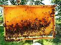 Abeilles et ruches 07.JPG