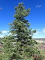 Abies concolor subsp. concolor kz07.jpg