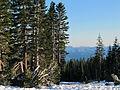 Abies magnifica Mount Shasta.jpg