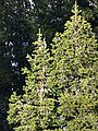 Abies pindrow India20.jpg