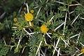 Acacia karroo (Fabaceae- Mimosoideae) (27061762562).jpg