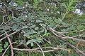 Acacia leucophloea in Vanasthalipuram, Hyderabad, AP W IMG 9225.jpg