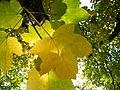 Acer obtusatum (39).JPG