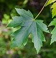 Acer saccharinum in Eastwoodhill Arboretum (5).jpg