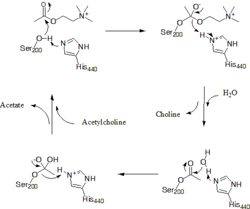 AChE's mechanism for hydrolysis of acetylcholine, not depicted is Glu327 which stabilizes protonation of His440