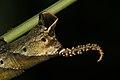 Acherontia-Kadavoor-2016-06-23-003.jpg