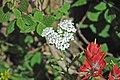 Achillea alpicola (alpine yarrow) (Rocky Mountains National Park, Colorado, USA) (15575516117).jpg