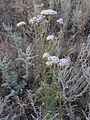 Achillea stepposa (habitus) 1.jpg
